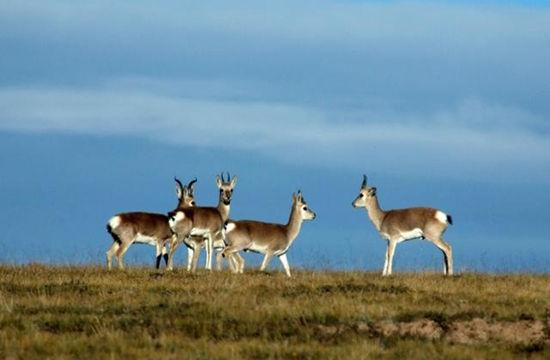 野生动物保护法自1989年3月1日实施以来,我国野生动物保护事业得到发展。到2014年底,我国已建立2729个自然保护区,保护了85%左右的野生动物种群。目前,我国虽然建立了以自然保护区为主的野生动物栖息地保护体系,但仍存在栖息地保护主体不全面、保护方式单一、禁猎区在实践中被弱化、一些重要野生动物迁徙通道如停歇地、越冬地尚未纳入保护体系等问题,栖息地侵占破坏情况严重,成为野生动物种群减少的直接原因。长江等重要水域生态系统受到严重破坏,白暨豚已经功能性灭绝,江豚、中华鲟等重点保护物种极度濒危。